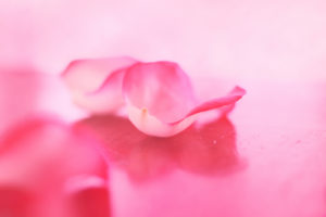 rose pletal