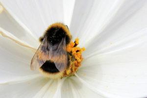 propolis bee on flower